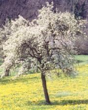 medium_pommier-en-fleur.jpg
